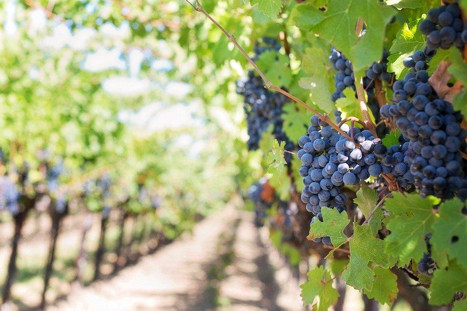 trsy vína